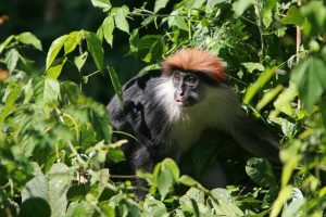 Red colobus