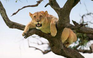 Lion- lake manyara